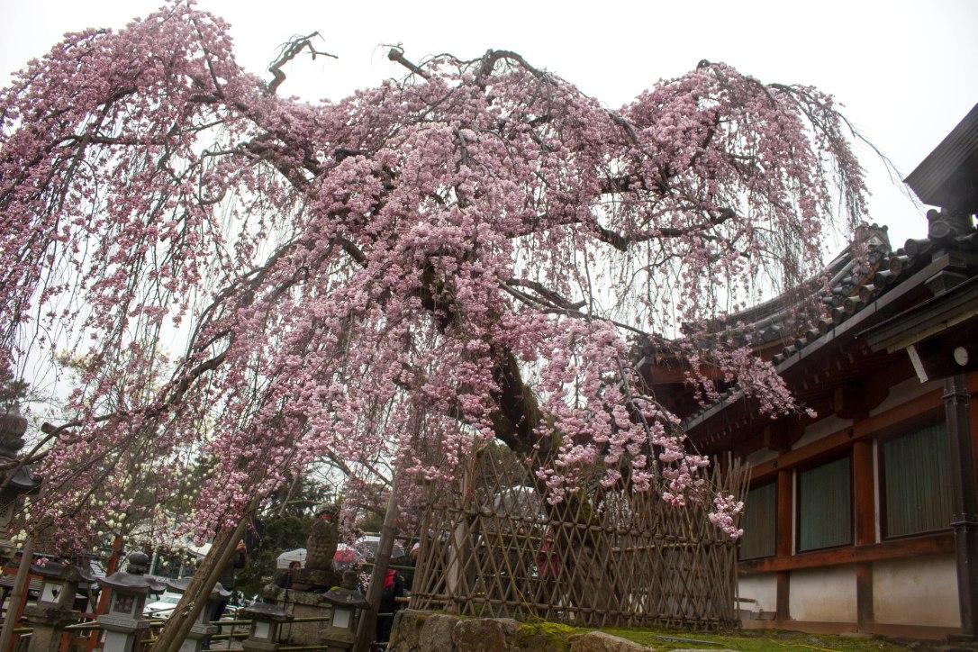 Nara with Sakura