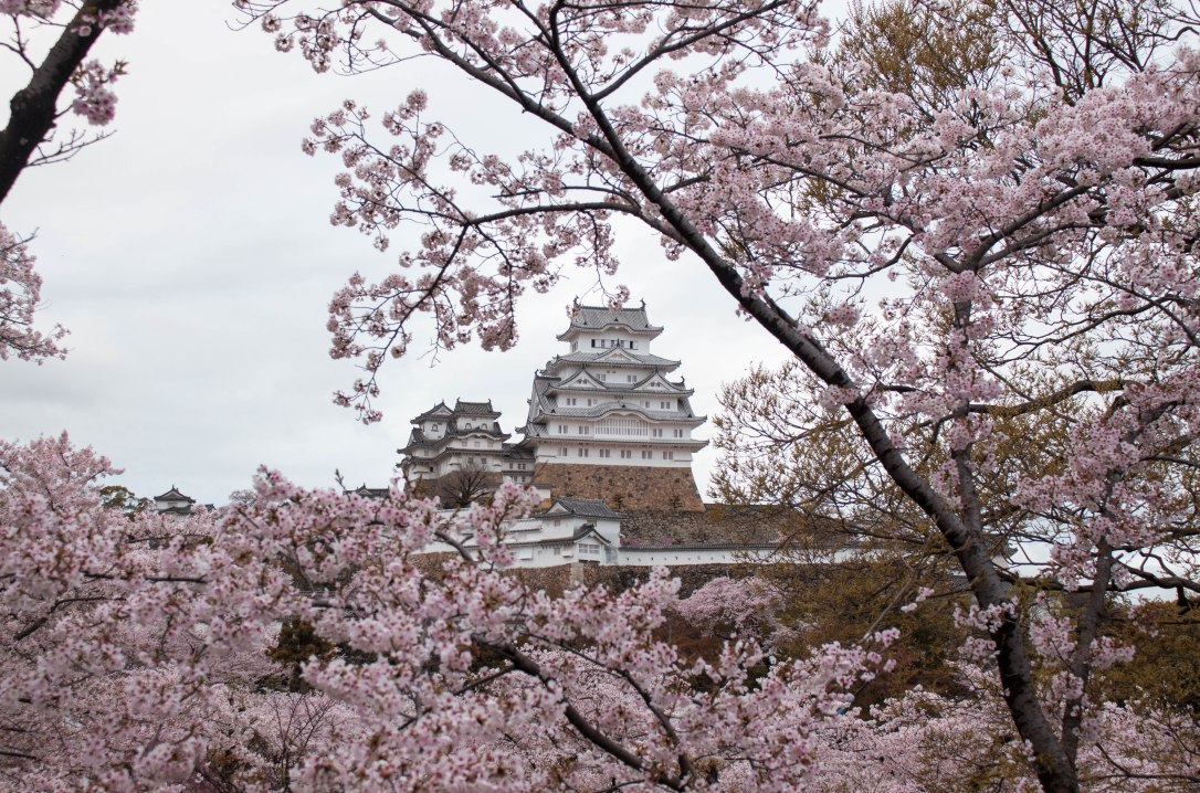 Himeji Castle with Cherry Blossoms